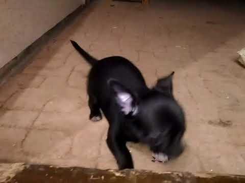 Щенки чихуахуа черные