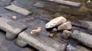 Смотреть онлайн Собака играет с мячом сама с собой в водоеме