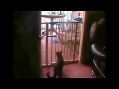 A gassy cat epicly FAILS jumping over a baby safety gate lol  I stumbled on this video of a cat failing EPICLY at jumping safely over a baby safety gate, in my opinion its hilarious!