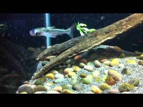 Centromochlus heckelii