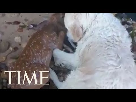 Watch This Superhero Dog Save A Drowning Baby Deer | TIME