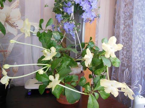 # Комнатные растения - красота и уют в Вашем доме. Абелия,бугенвиллия,эсхинантус,брунфельсия,