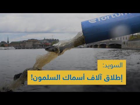 !السويد: إطلاق آلاف أسماك السلمون