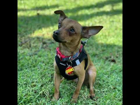Dexter, an adoptable Miniature Pinscher & Chihuahua Mix in Glendora, CA_image-1