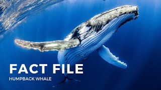 Facts about the Humpback Whale