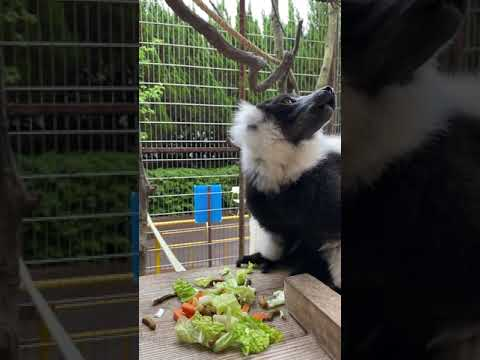 【池田動物園公式】エリマキキツネザルの食事の様子