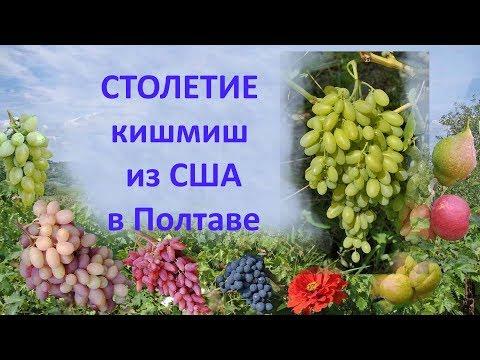 Виноград 2018  Виноград Столетие  Отзыв о винограде