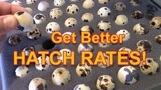 Get Better Hatch Rates - Quail hatch rates explained