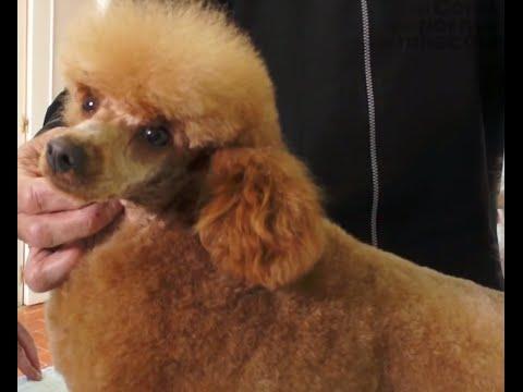 PERROS - Peluqueria canina. Como peinar a un perro Caniche Toy. Que cuidados necesita.