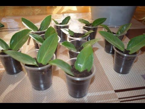Размножение замиокулькаса в домашних условиях из листочка.  Часть I