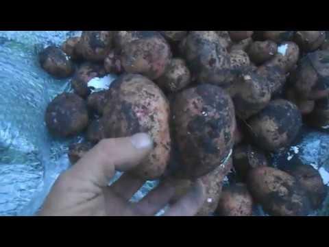 Кому что, а бульбашу картошку//Жизнь в деревне
