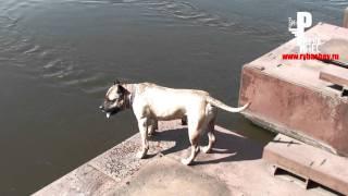 Собака ныряет на счёт пять (умеет считать)!!!