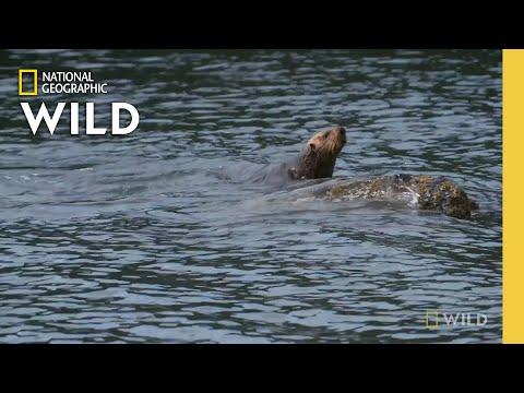 A Sea Otter Returns to the Wild    Alaska Animal Rescue