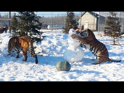 Tigers HATE Snowmen!
