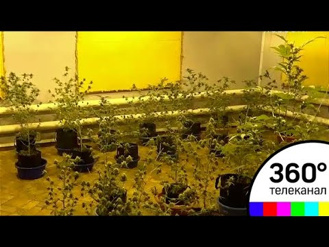За два года в арендованном доме выросло более двухсот кустов конопли