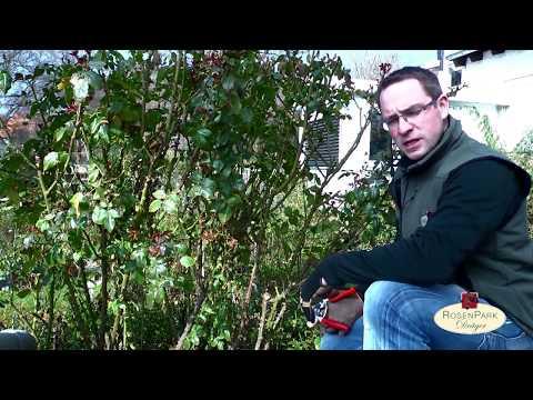 Rosenschnitt Teil 1 - Strauchrosen