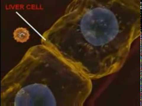 Как передается гепатит а и б у