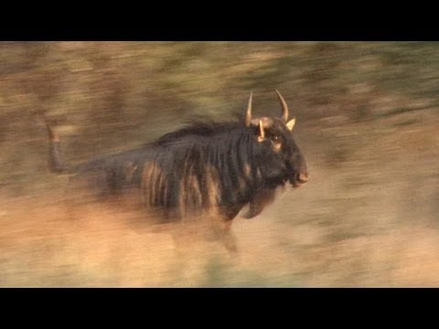 Hunting the Blue Wildebeest