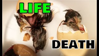 LIFE and DEATH of Hatching Baby Chicks