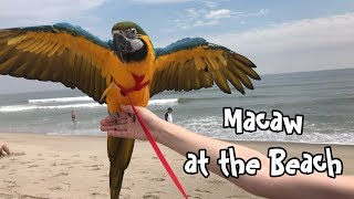 Rachel Blue and Gold Macaw - Goes to the Beach
