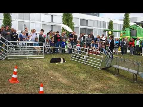 , title : '牧畜犬と滑り台をすべるアヒル・インディアンランナー Shepherd Dog Indian Runner duck 2017 1001 00871