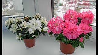 Зимнецветущие комнатные растения видео