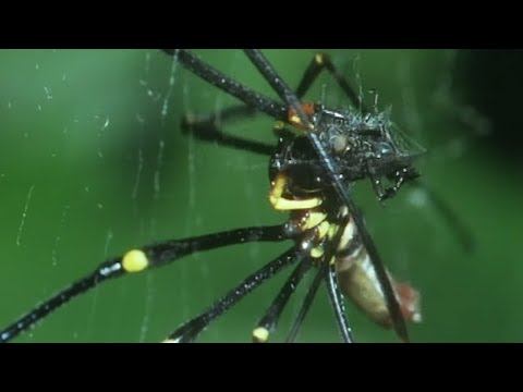 Small Spider Steals From A Giant Spider | Trials Of Life | BBC Earth