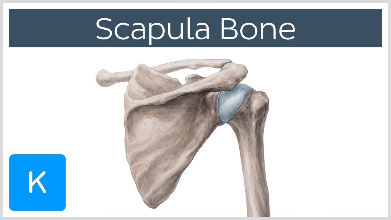 Scapula bone anatomy
