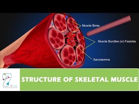 Leffort des muscles au dessous du ventre à gauche chez