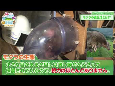 【熊本市動植物園】モグラのくらしを見てみよう!