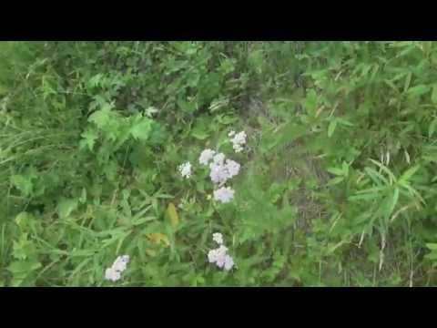 Video Yarrow and Indigenous Medicine Perspectives - Return to Nature - Pt. 2