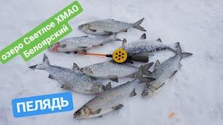 Ловля пеляди на красноярском море зимой