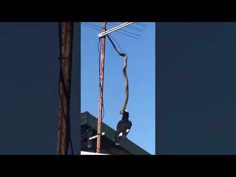 Flagrante: cobra pega pássaro em antena