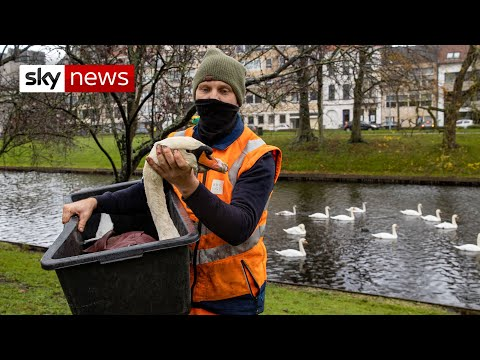 Bird flu link to dying swans investigated