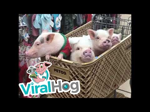 Four Pigs And A Puppy || ViralHog