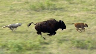 Wolves Hunt Buffalo and Calf | BBC Earth