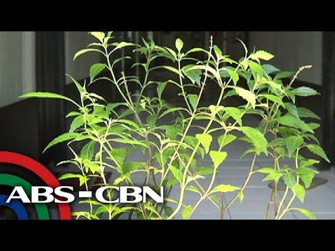 Ang worm pusa panganib