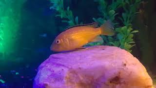The Annoying yellow fish YEET!!!