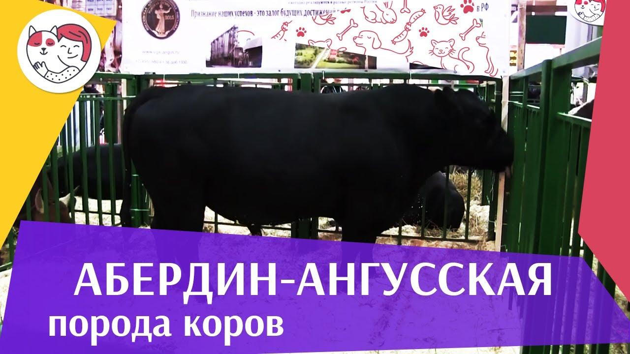 БЫК АБЕРДИН АНГУССКОЙ ПОРОДЫ 2 Агропромышленная выставка Золотая осень 2016 iLikePet