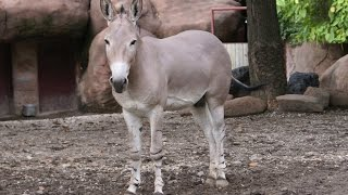 Somali Wild Ass - Quick Facts