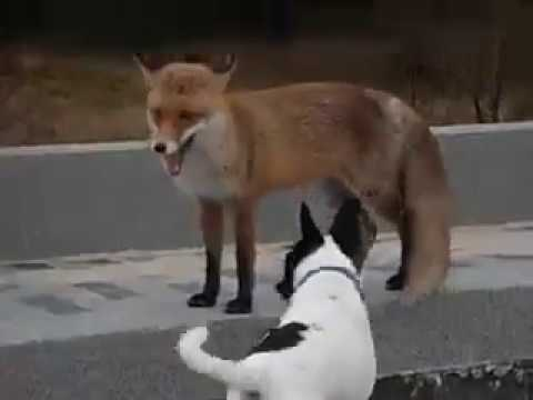 Dog And Fox Friends Playing Together..cute