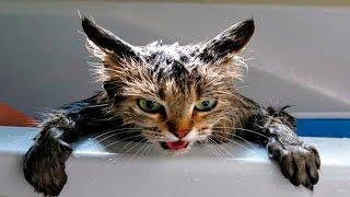 Кошки в Воде - Кошки Ненавидят Воду - Кошки Против Воды - Кошки в Шоке - Смешные Кошки 2016