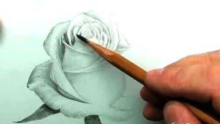 Белая Роза карандашом.
