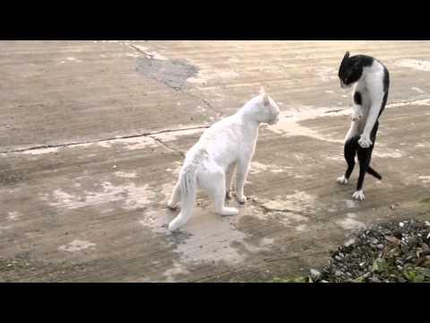 סרטון מצחיק - חתול קוברה!
