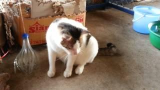 แมวยุ่งจอมระแวงของบ้าน