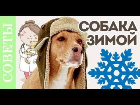 Чем опасен мороз для собаки! Как помочь собаке зимой.