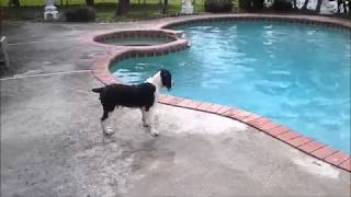 Springer Spaniel Pups First Swim