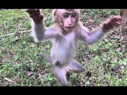 WOW! Cute Baby Monkey Attack Camera, So Adorable Pigtail Baby Monkey