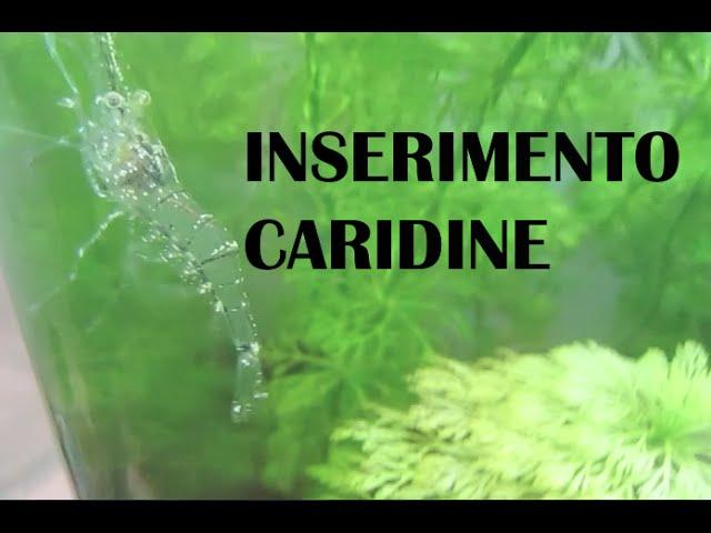 ACQUARIO D'ACQUA DOLCE: Inserimento Caridine | Cambio d'acqua.