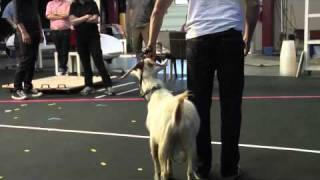 Goats are Good Dancers